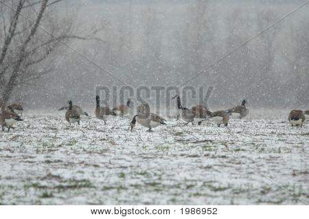 Goose Storm
