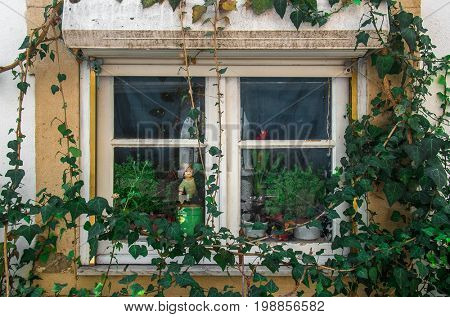 Ivy branches around a window in an old house