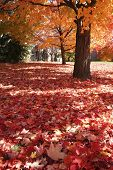 foto of maple tree  - maple tree with red maple leaves on the ground - JPG