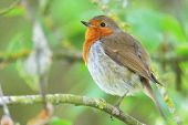 The European Robin (erithacus Rubecula), Known Simply As The Robin Or Robin Redbreast. poster
