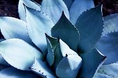 Agave (Asparagaceae) cactus plant, in light and shadow. Shallow depth of field.  Agaves are succulen poster