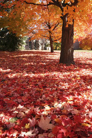 stock photo of maple tree  - maple tree with red maple leaves on the ground - JPG