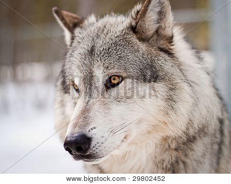 Wolf-Porträt
