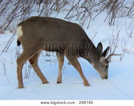 Mule Deer Browsing In Snow