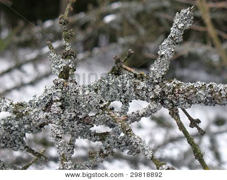 Moss on branches