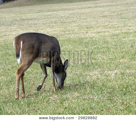 Grazing Whitetail