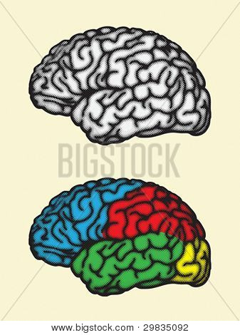 Brain, cerebral hemisphere lobes
