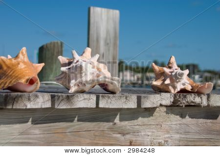Conch Shells In The Sun
