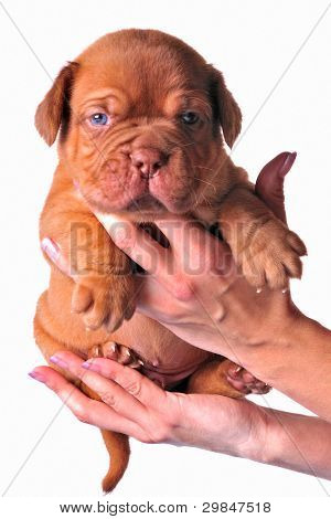 French Mastiff puppy in woman's hands, isolated on white