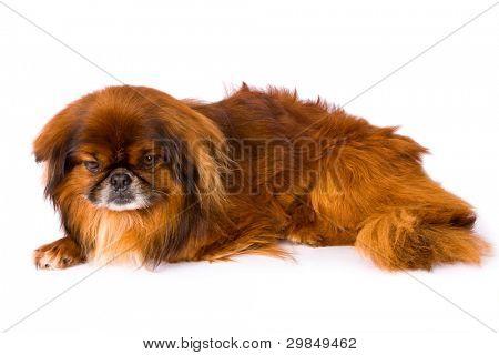 pekinese dog