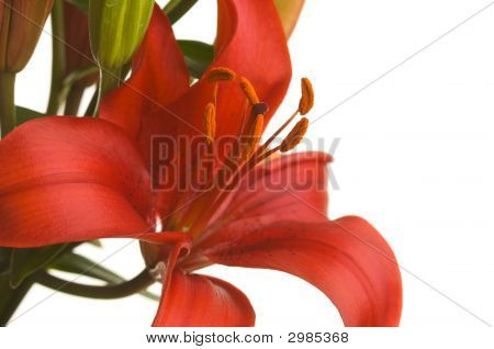 Stunning Asiatic Lily Bloom