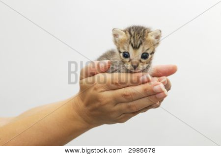 Hands Holding Kitten