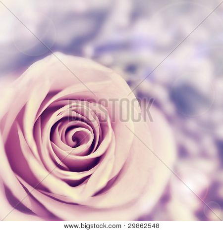 Dreamy rose abstract background, beautiful fresh violet flower, floral style image, closeup on nature, tender plant, shallow dof