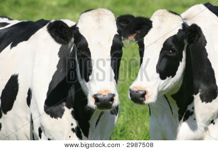 Black And White Cows In Pasture