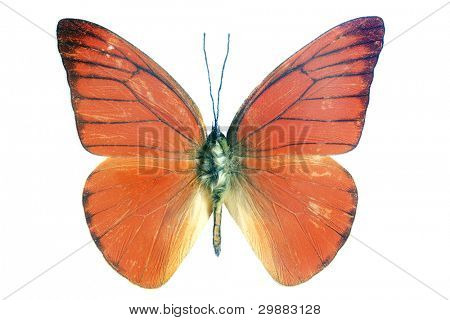 orange exotic butterfly isolated on a white background