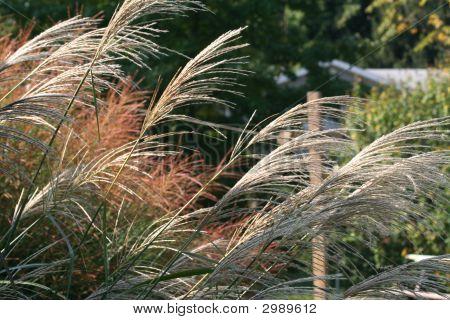 Ornimental Grass
