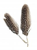picture of guinea fowl  - two feathers of a guinea fowl isolated - JPG