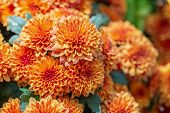 Orange Dahlias Flower In Garden At Sunny Summer Or Spring Day. Flower For Postcard Beauty Decoration poster