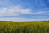 The Rapeseed Field Is A Plant. Oil Colors In A Rapeseed Field With Blue Sky And Clouds. Yellow Field poster