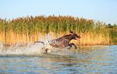 Happy Playful Muscular Thoroughbred Hunting Dog German Shorthaired Pointer. Is Jumping, Running On T poster