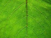 Veins On The Leaf. Leaf Texture. First May Leaves poster