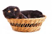 Black Cat British Shorthair With Yellow Eyes Isolated On White Background poster
