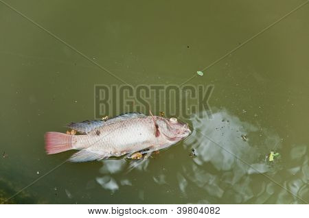 A Fish Dies In The  Dirty Water