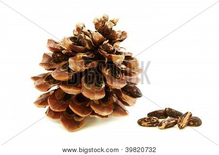 Disclosed Pinecone With Seeds.