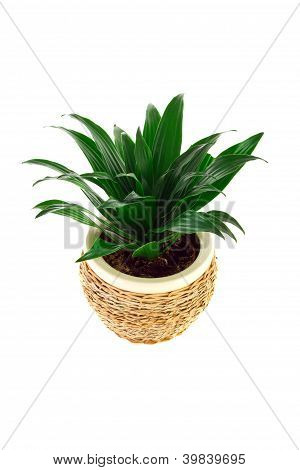 The Image Of A Flower In A Pot Of Room Dracaena