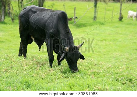 Black Bull Grazing
