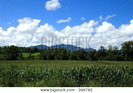 Cornfield At The Foot Of The Mountains
