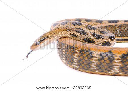 Snake Isolated Over White Background