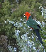 stock photo of king parrot  - Male australian king parrot foraging in acacia trees for wattle seeds - JPG