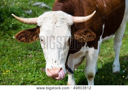 Brown Cow�s Head