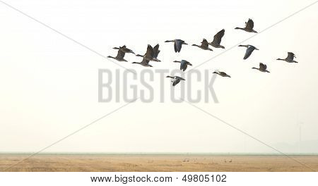 Flock of geese flying in summer