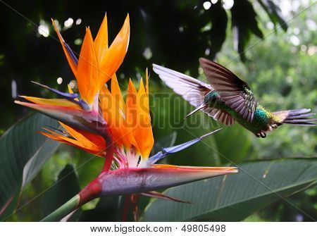 Flying Hummingbird at a Strelitzia flower