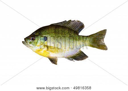 Pristine Sunfish On White