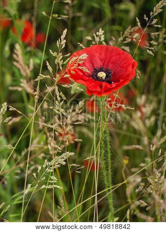 Red Poppy In A Dense Green Grass In The Morning