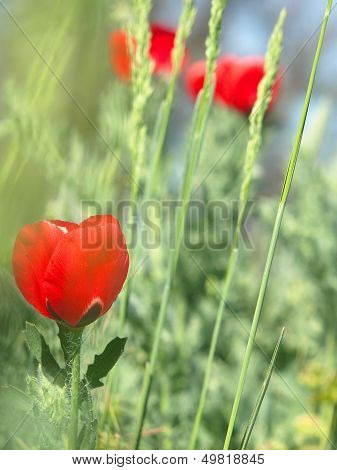 Red Poppy In A Dense Green Grass