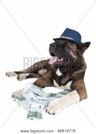Akita in a hat with money