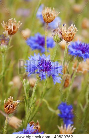 Blue bachelor's buttons on a field with other wild flowers