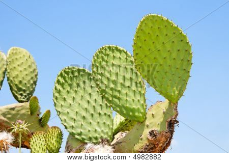 Tzabar Cactus Or Prickly Pear
