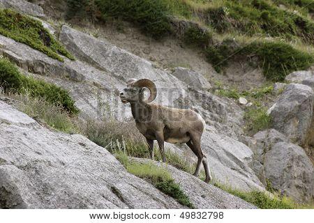 Bighorn Sheep Single