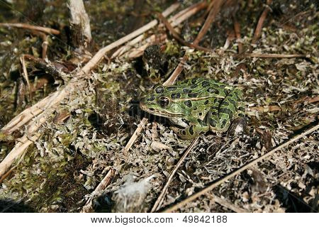 Spotted Green Frog