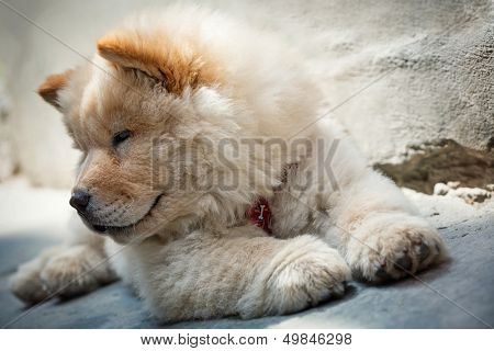 Portrait of a young puppy chow chow