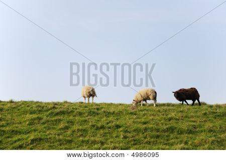 Sheep At The Dike