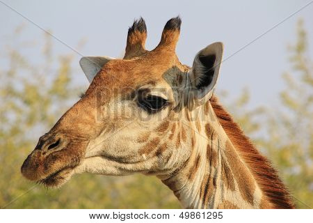 Giraffe - Wildlife Background from Africa - Elegance
