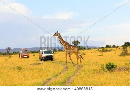 Giraffe in Masai Mara, Kanya
