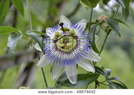 Flower Passiflora