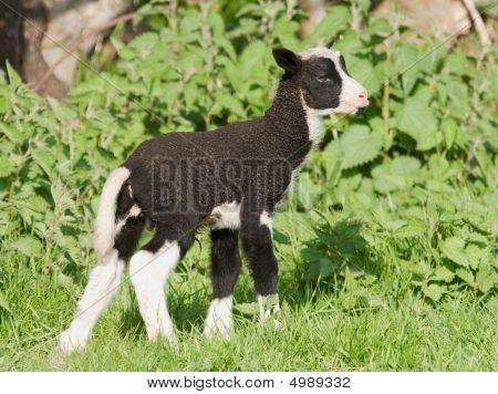 Newborn Zwartbles Lamb